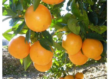 Navel Lane-Late Orange for juice 19 kg