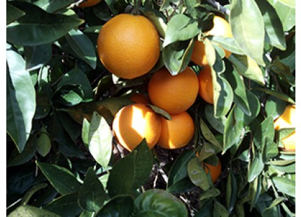 1 Sandía y hasta 20kg de Naranja para Mesa
