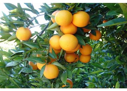 Valencia Lane Orange for juice 5 kg
