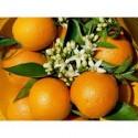 Valencia Lane Orange for juice 14kg