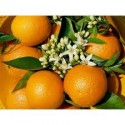Valencia Lane Orange for table + Valencia Late for juice 14kg