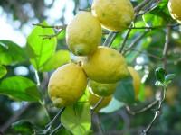 Lemons 9kg box