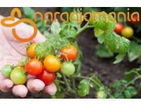 Tomate Cherry 1kg