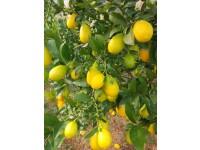 Limequat 250gr. ✔