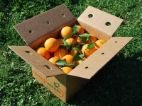 Navel Lane-Late Orange for table 15 kg