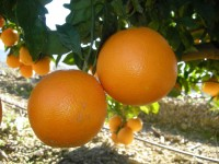 Navel Lane-Late Orange for table 10 kg