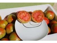 Optimal tomato 9kg medium size