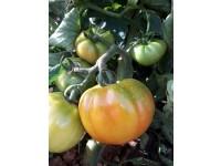 Optim tomato 1kg