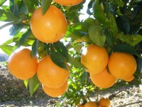 Washington Navel Orange for juice 10 kg